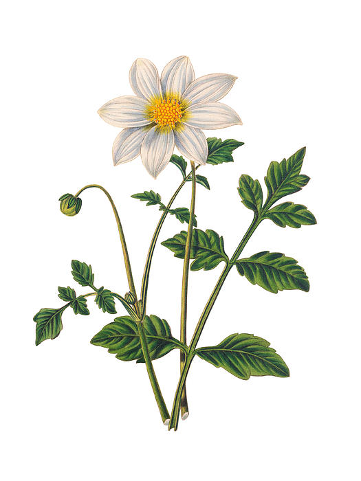 Dahlia Botanical Illustration Print by LoveMap