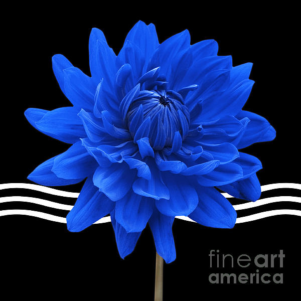 Dahlia Flower And Wavy Lines Triptych Canvas 2 - Blue Print by Natalie Kinnear