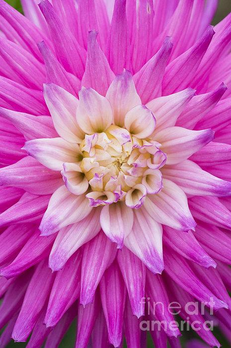 Dahlia Ruskin Andrea Flower Print by Tim Gainey