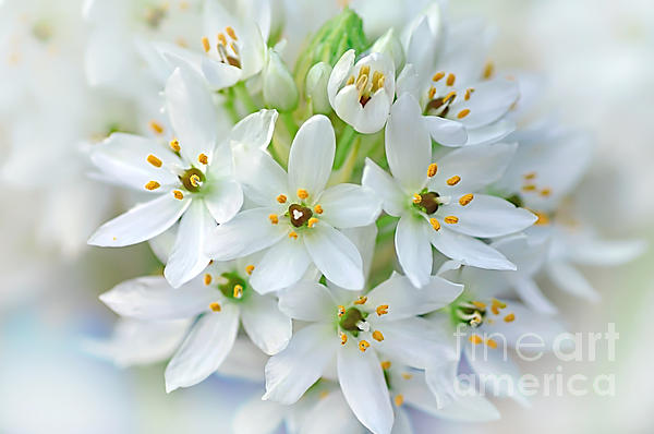 Dainty Spring Blossoms Print by Kaye Menner