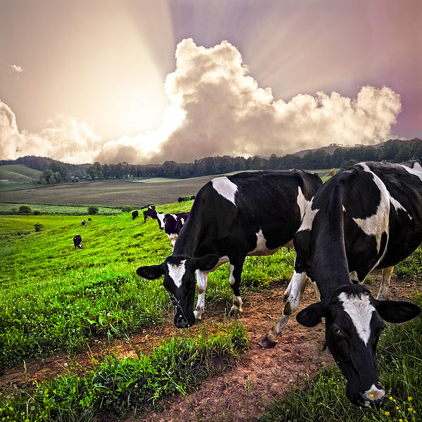 Dairy Cows At Sunset Print by Debra and Dave Vanderlaan