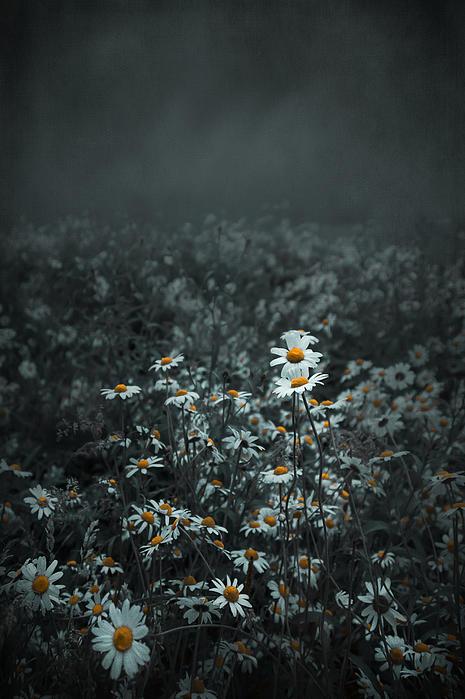 Daisies-daisies Print by Svetlana Sewell