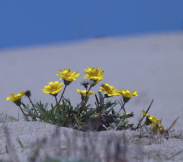 Joe Schofield - Daisies on the Beach