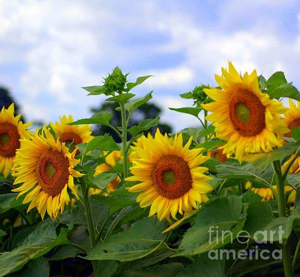 Kathleen Struckle - Dancing Sunflowers