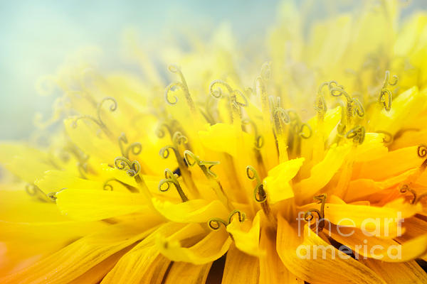Dandelion  Print by Mythja  Photography
