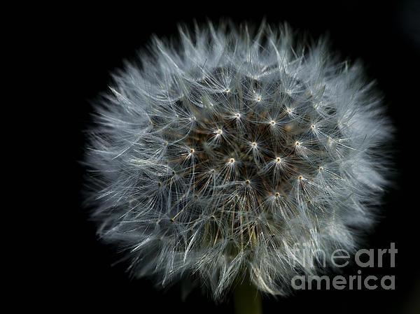 Dandelion Seed Head On Black Print by Sharon  Talson