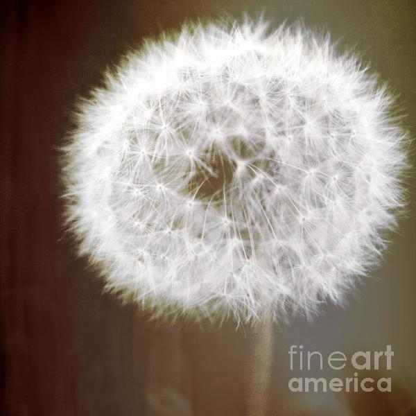 Dandelion Soft White Flower With Earth Tone Background Fine Art Photo Print by Sylvia Coomes