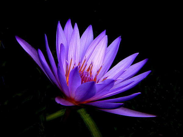 Rosalie Scanlon - Dark Side of the Water Lily