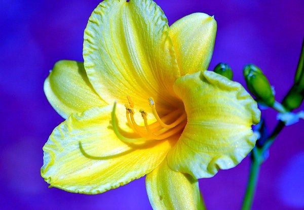 Deena Stoddard - Day Lily