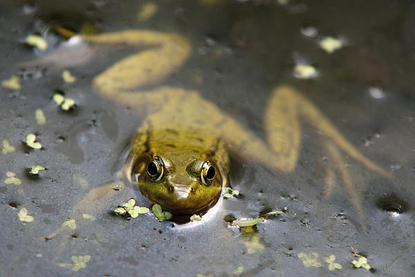 Daybreak Frog Print by Christina Rollo