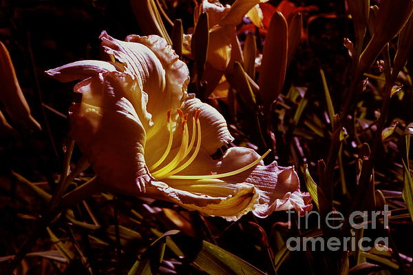 ImagesAsArt Photos And Graphics - Daylily Flower At Sunset
