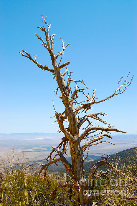 Debra Thompson - Dead Tree in Great Basin National Park