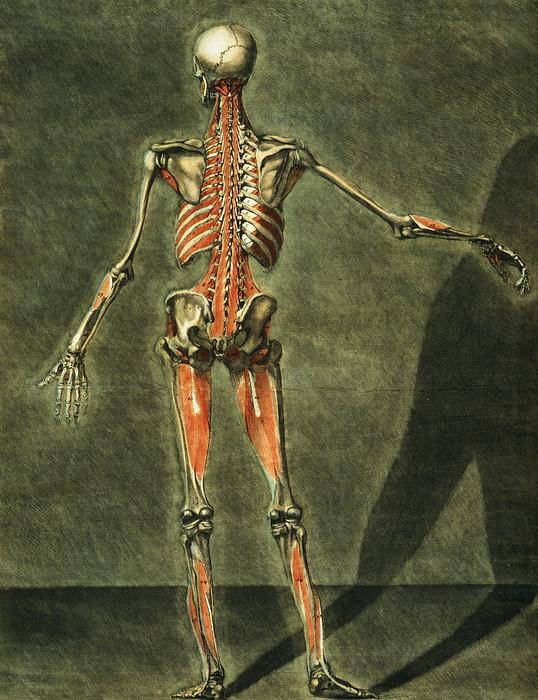 Deep Muscular System Of The Back Print by Arnauld Eloi Gautier D'Agoty