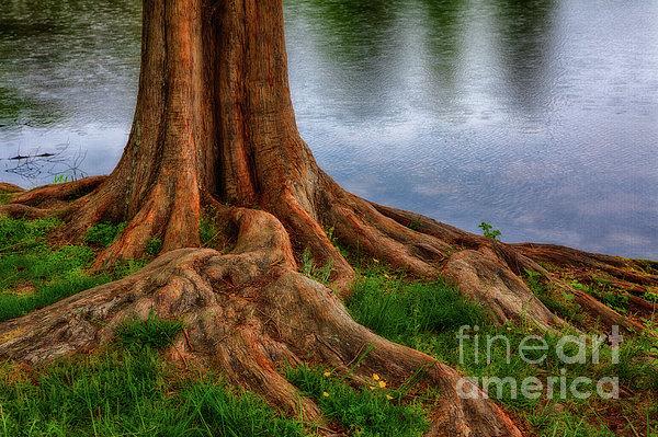 Deep Roots - Tree On North Carolina Lake Print by Dan Carmichael