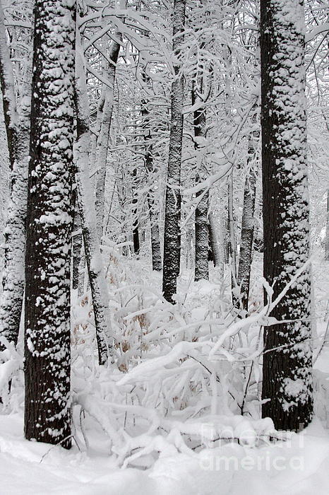 Deep Snow In The Forest Print by Lynn-Marie Gildersleeve