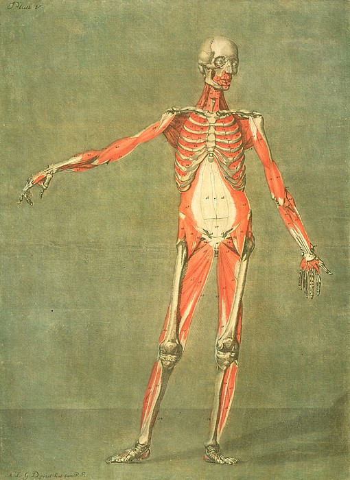 Deeper Muscular System Of The Front Print by Arnauld Eloi Gautier D'Agoty