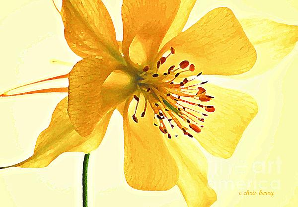 Delicate Columbine  Print by Chris Berry