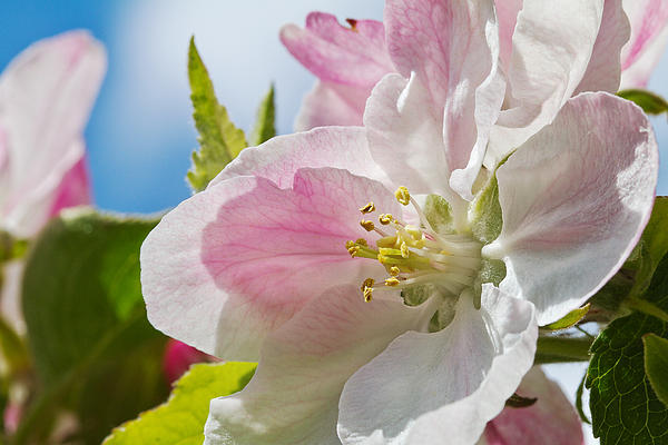 Delicate Spring Blossom Print by Mr Bennett Kent