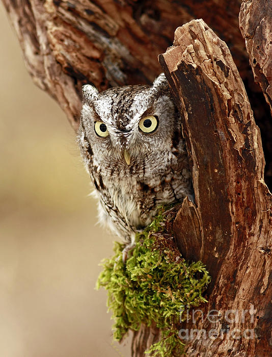 Delighted By The Eastern Screech Owl Print by Inspired Nature Photography By Shelley Myke