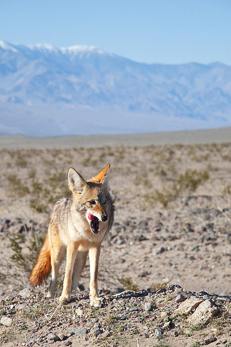 Desert Coyote Related ...