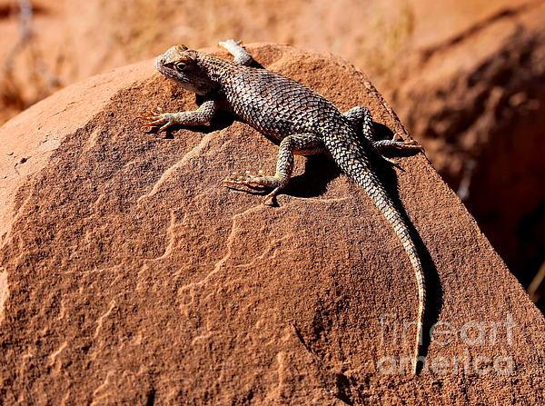 Desert Spiny Lizard Print by Marty Fancy