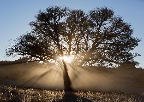 Desert Tree Print by Max Waugh