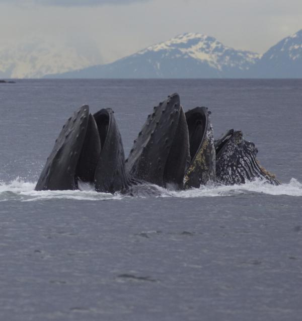 Detail Of Humpback Whales Feeding Print by Tim Grams
