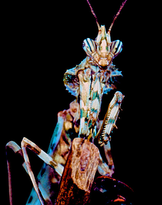 Devil Flower Mantis Print by Leslie Crotty