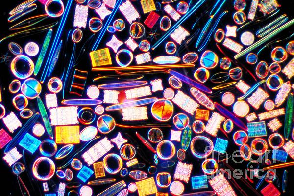Diatom Arrangement Print by Kent Wood
