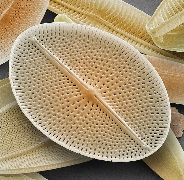 Diatom, Sem Print by Power And Syred