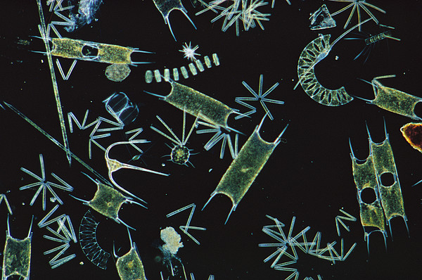 Diatoms And Dinoflagellates Print by D P Wilson