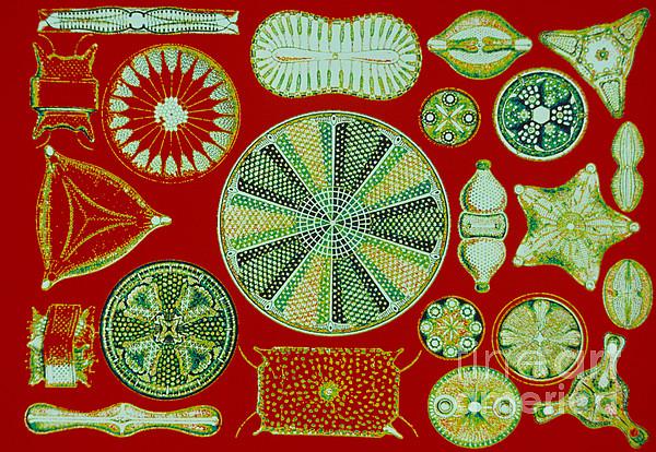 Diatoms-ernst Haeckel Print by Scott Camazine