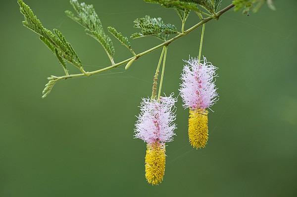 Dichrostachys Cinerea Flowers Print by Science Photo Library