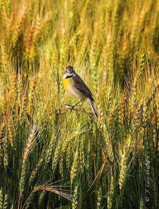 Dickcissel Posing On Wheat Head Print by J Larry Walker