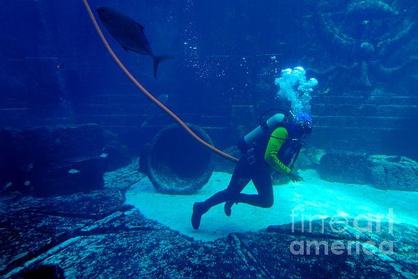 Diver At The Dig Aquarium Atlantis Resort Print by Amy Cicconi