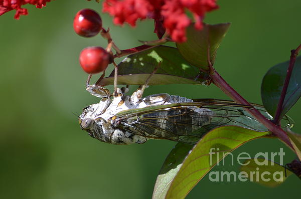 Dog Day Cicada Print by Kathy Gibbons