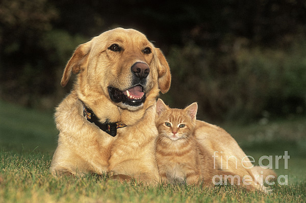 Dog With Kitten Print by Rolf Kopfle