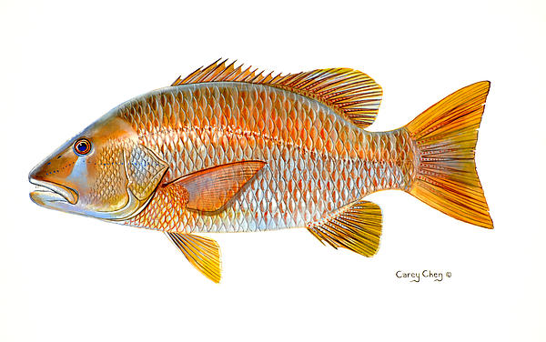 Dogtooth Snapper Print by Carey Chen