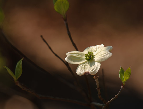 Dogwood Bokeh Painting Print by Lara Ellis