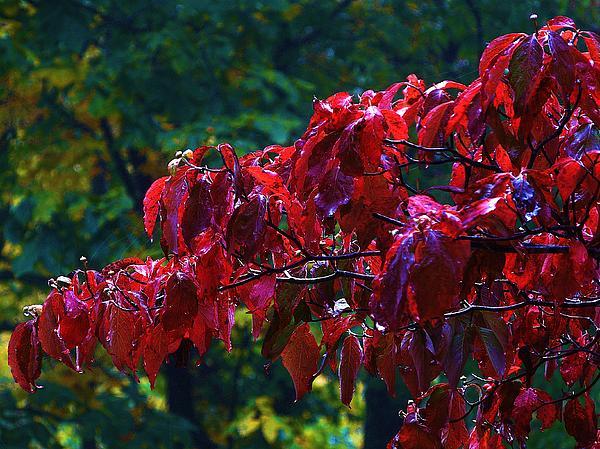 Dogwood Branch In Autumn Print by Bill Shuman
