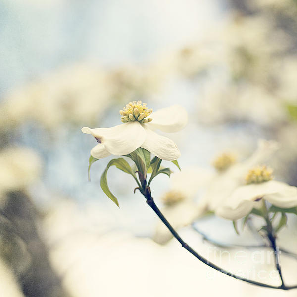 Dogwood No 1 Print by Erin Johnson