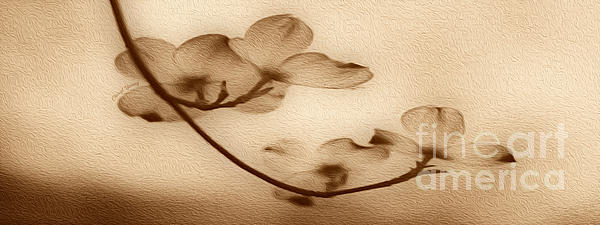 Dogwood Panoramic Sepia Print by Cheryl Young