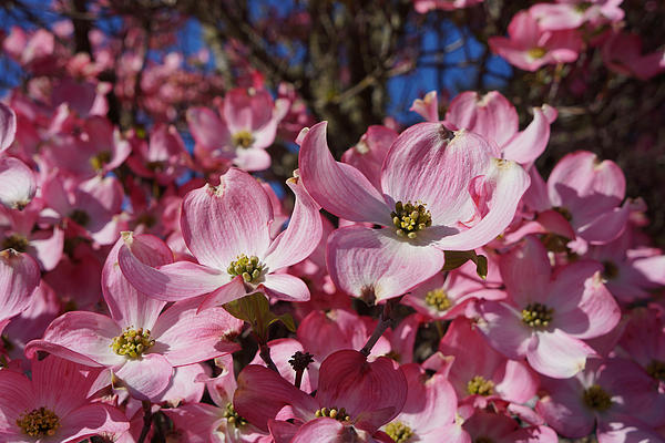 Dogwood Tree Flowers Art Prints Floral Print by Baslee Troutman