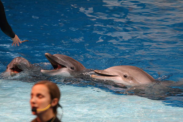Dolphin Show - National Aquarium In Baltimore Md - 1212177 Print by DC Photographer