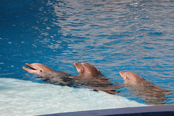 Dolphin Show - National Aquarium In Baltimore Md - 1212183 Print by DC Photographer