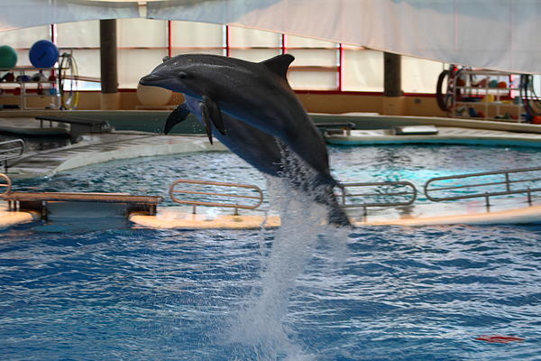 Dolphin Show - National Aquarium In Baltimore Md - 1212248 Print by DC Photographer
