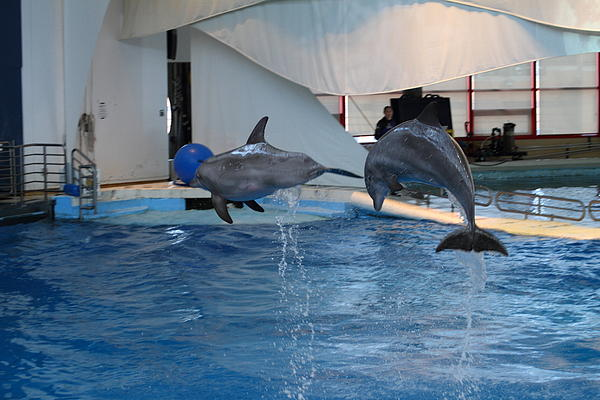 Dolphin Show - National Aquarium In Baltimore Md - 1212258 Print by DC Photographer