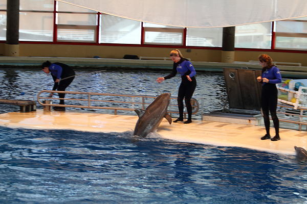 Dolphin Show - National Aquarium In Baltimore Md - 121231 Print by DC Photographer