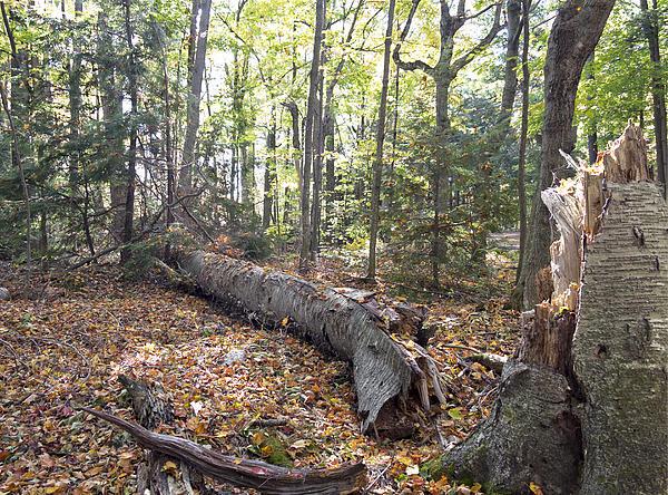 Door Bluff Headlands Cp Fallen Tree Print by Jim Baker