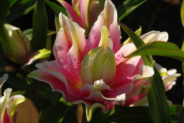 Susan Baricko - Double Lily